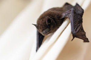 Bat Tests Positive for Rabies in Kirksville